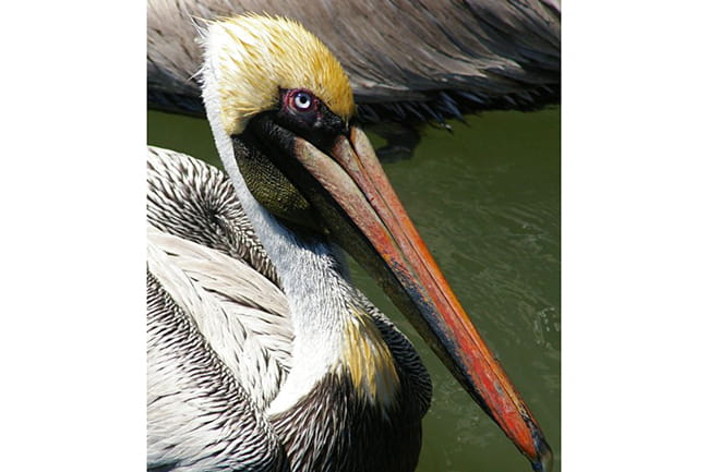 Color photograph of a pelican