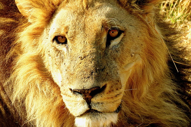Color photograph of close up of male lion